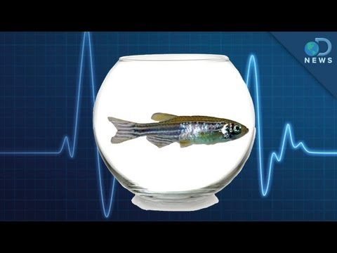 Zebrafish: The New Lab Rat