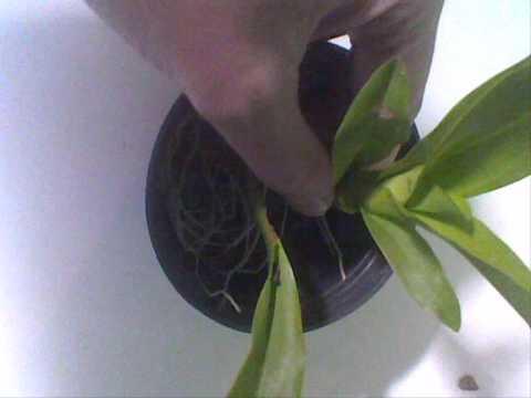 Passo a passo para o plantio de orquídeas