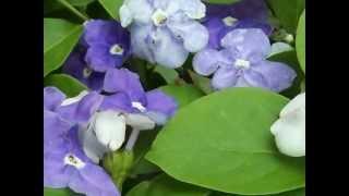 Brunfelsia australis.wmv
