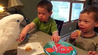 2014 4 26 Mr. Darcy Cockatoo shares pancakes with toddlers