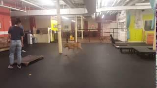 Dog Training | Bennett's pick up session | Solid K9 Training Dog Training