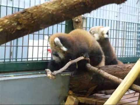 レッサーパンダ赤ちゃん屋内の様子2☆円山動物園レッサーパンダ