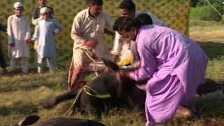 Download Pakistani Muslims sacrifice animals to celebrate Eid al-Adha 3Gp Mp4