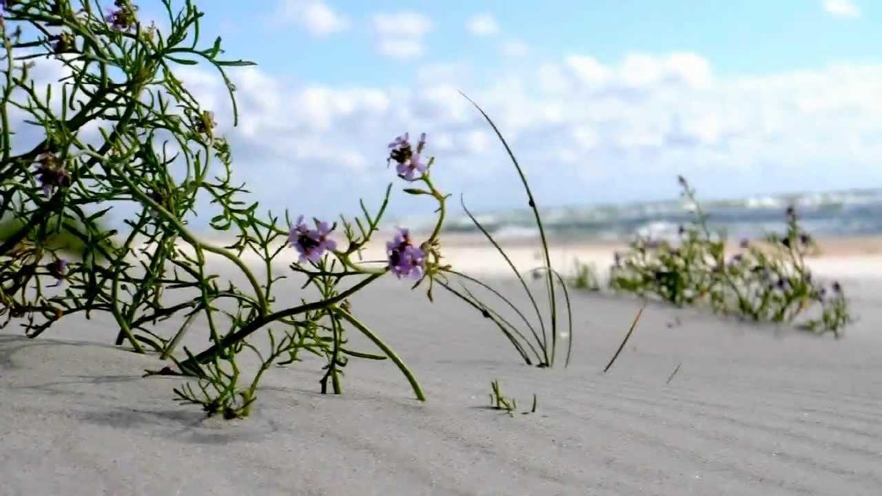 цветы Куршской косы