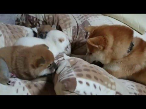 やりすぎパパにママぶち切れ! ☆柴犬☆アズ&コタ、ファミリーの日常