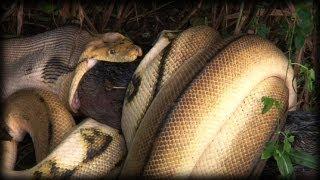 Python kills Pig 08 - Time Lapse