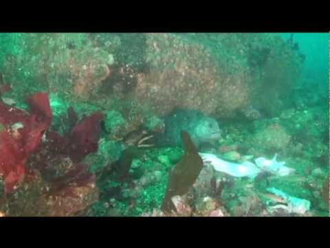 Small wolf eel on the Redondo Beach Artificial Reef