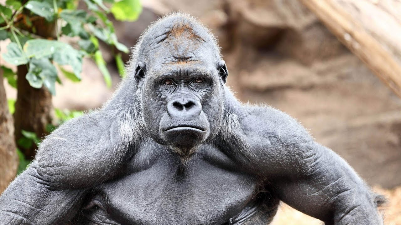 Gorilla and garls fuking hentai pics