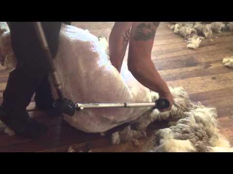 Sheep shearing Whanganui ( konvict)