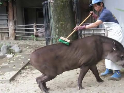 rub the tapir.