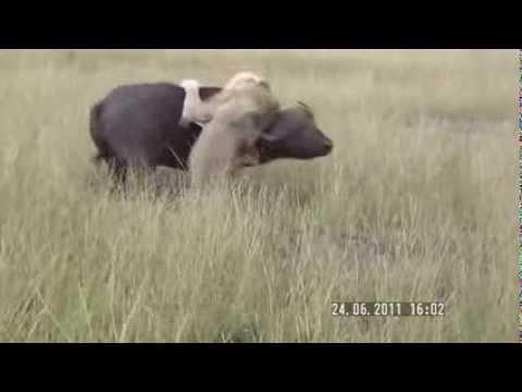 Búfalo brigando com leão- no mano a mano- veja quem levou a melhor- bufallo x lion- bufalo x leon