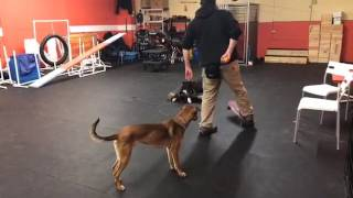 Training   Place work with distance, distraction and duration   Solid K9 Training Dog Training