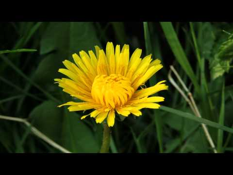 Time Lapse Dandelion in growth (25 seconds.)