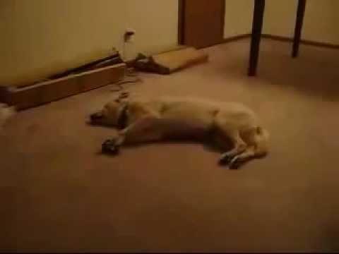 Video Divertenti Animali – Cane sonnambulo in azione