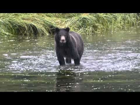 Bears at Pack-Creek (Admiralty Island, Alaska)