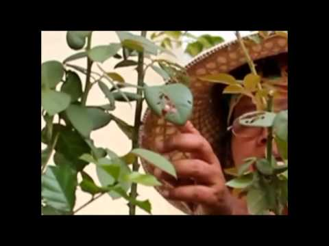 การขยายพันธุ์พืช โดย การตอนกิ่ง