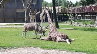 Shockerend! Koedoe valt giraf aan in dierentuin Blijdorp - Rotterdam!!
