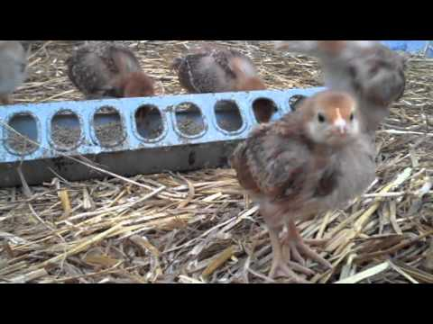 Chicken Rescue | Animal Rescue | Animal Sanctuary