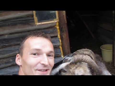 Разгул коз, первое вздутие живота у козы