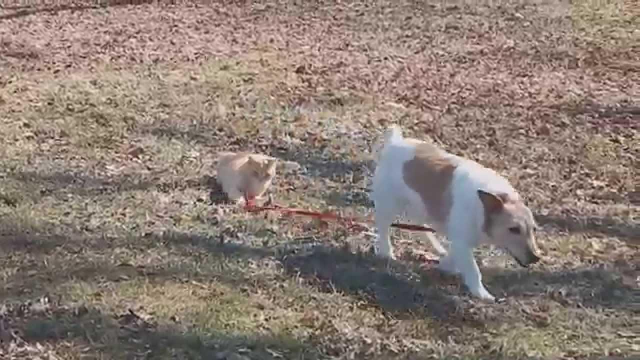 Rövid pórázon tartja a kutyát a macska - videó