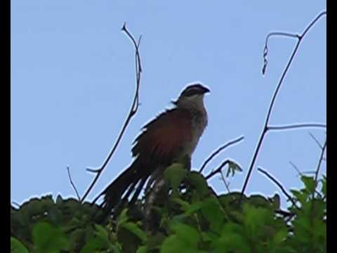 Birds of East Africa: White-browed Coucal Video