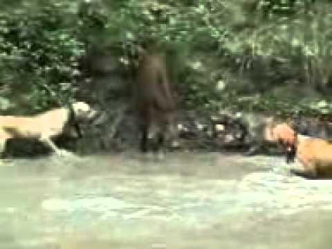 Olah Raga Tradisional-Buru Babi di Sumatera Barat
