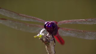 How Do Dragonflies See The World? - Animal Super Senses - BBC