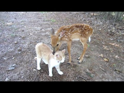 Baby Deer & Kitten become Friends By The Lighthouse Lady