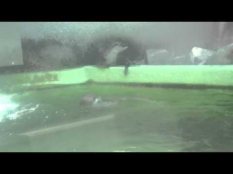 2011.07.23 安佐動物公園 ユーラシアカワウソ