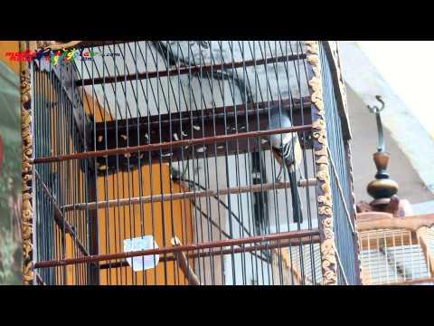media burung pentet cendet mp3