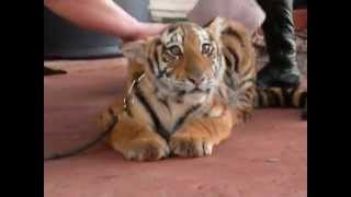 Tigers cub don´t like to take bath (Tigrinho tomando banho)