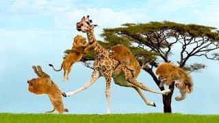 Amazing Giraffe Knockout Herd Of Lions One By One   Lion vs Giraffe