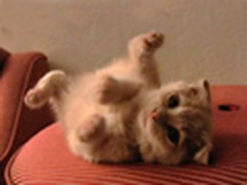 Dance of the BonkBonkBonkBonk-Plum Fairy (Scottish Fold Kitten)