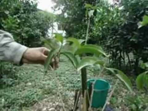 วิธีปลูกผักหวานป่าสวนปู่เคน