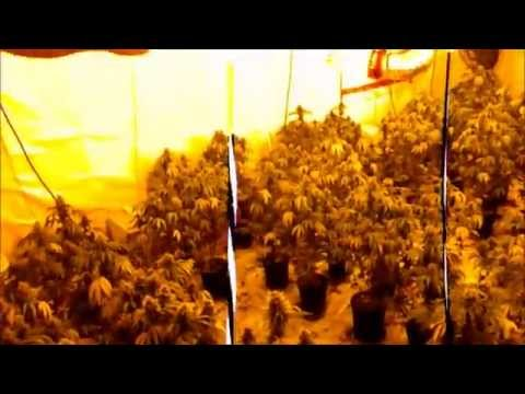 Day 50 Flowering  Purple KusH And cut down begins