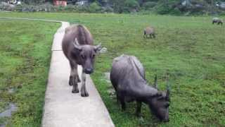 Coming head to head with a water buffalo music Pui O