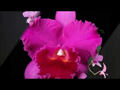 Tipos de orquídeas - levyburiti.wmv