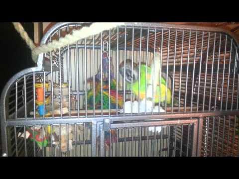 Simba senegal parrot loves to swing