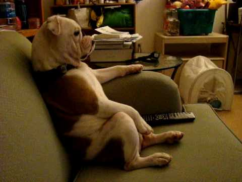 English Bulldog watching TV (Family Guy) sitting on a couch