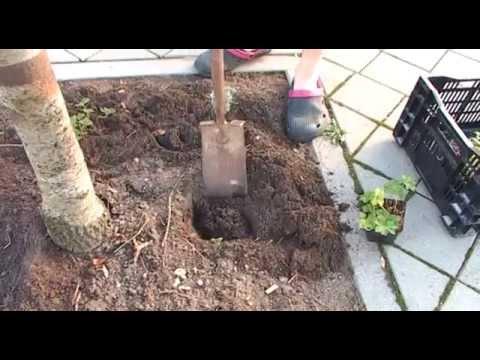 Klussengroep Wittevrouwenveld beplant boomspiegels in de ABH buurt