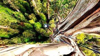 Dangerous Technology Biggest Tree Felling Cutting Down Modern Turbo ChainSaw Skills Viral Video