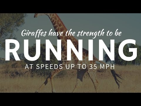 How FAST are giraffes and what is their maximum running speed?
