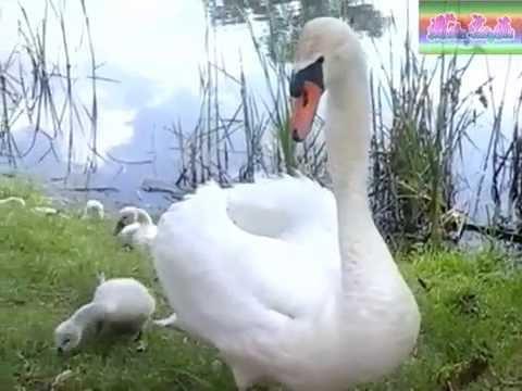 ОГРОМНЫЙ ЛЕБЕДЬ.Отдых с семьёй.\GREAT SWAN. Holidays with the family.