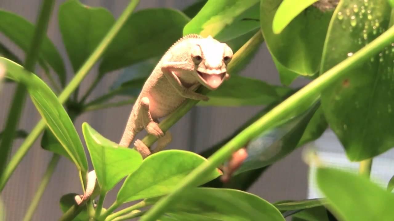 maxresdefault jpgBaby Ambilobe Panther Chameleon