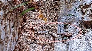 Chuyện lạ: Cây bồ đề 3.000 năm tuổi mọc rễ giống 'bàn tay Phật'