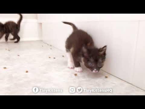 Aura and Brie play the Kibble Game - TinyKittens.com
