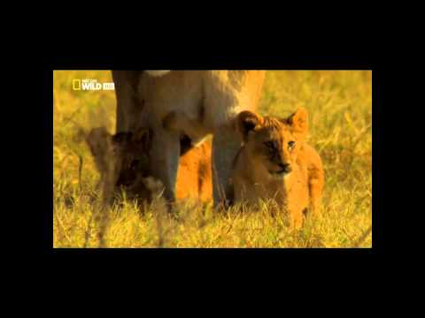 LOS ULTIMOS LEONES DOCUMENTAL NAT GEO parte 2
