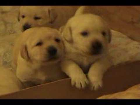 Three week old yellow lab puppies youtube
