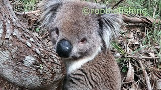 Is this a drunk koala?