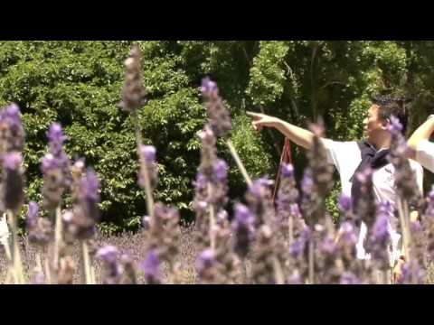 Ashcombe Maze And Lavender Gardens Thumbnail